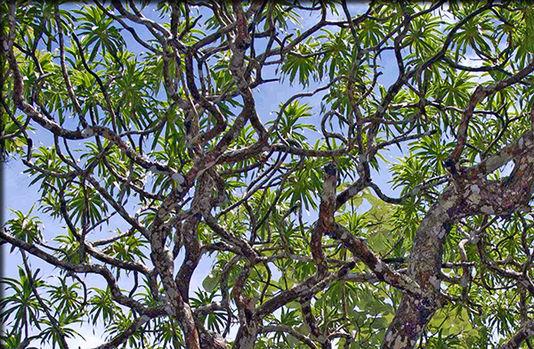 arbredargon