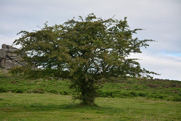 Dartmooraubepine