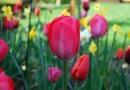 Les tulipes, berceaux des fées