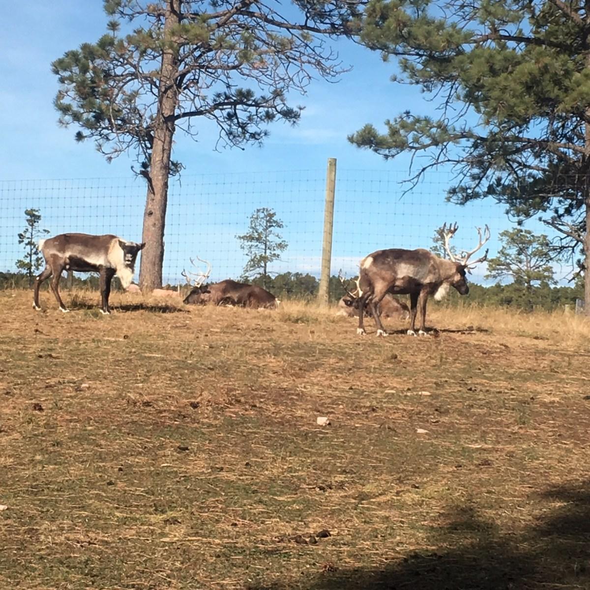 Elk at Bear Country USA South Dakota