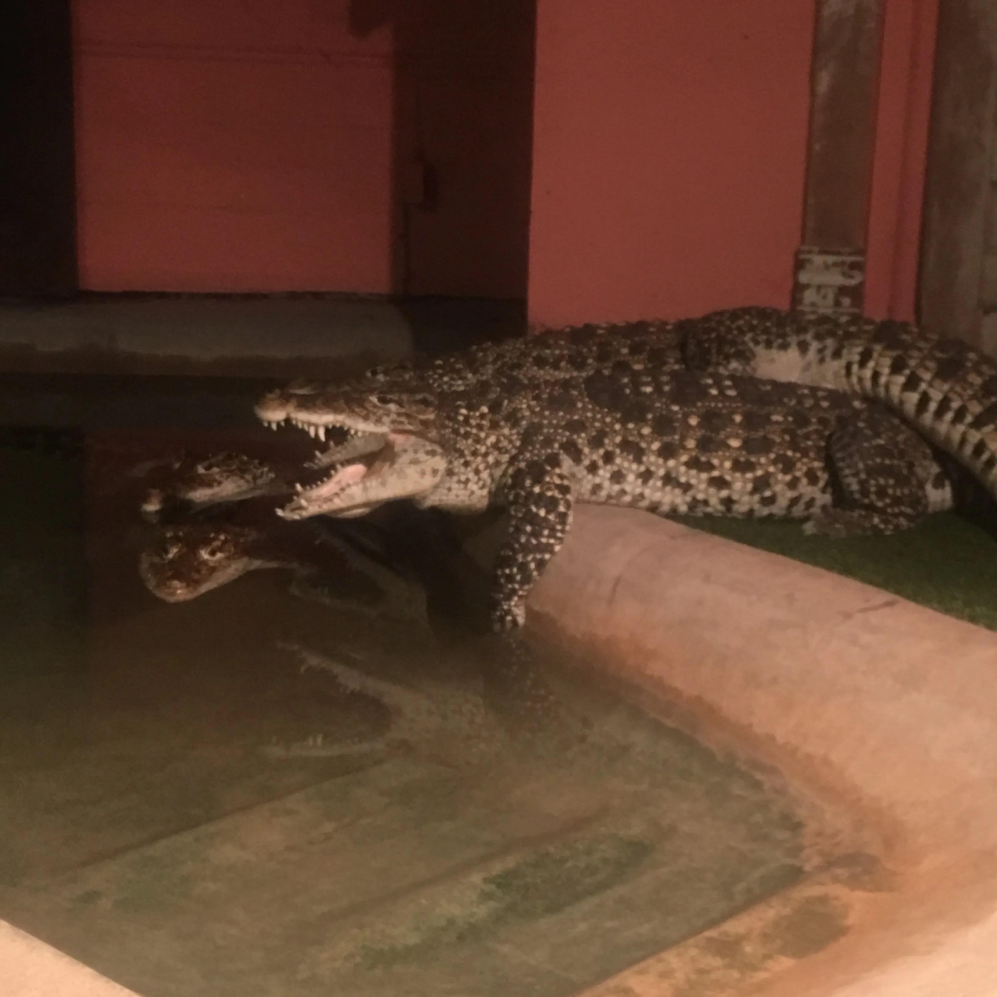 Reptile Gardens Gators