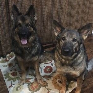 Matilda and Finnegan German Shepherd Dogs sitting and waiting for dinner