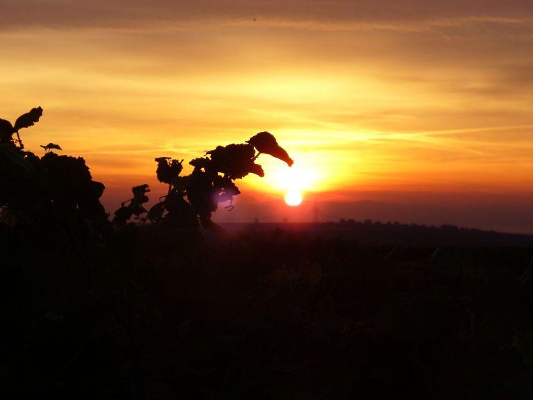 Pfaff-Weine Sonnenaufgang