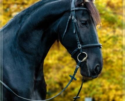 Friesen Pferde – stolz und anmutig zugleich