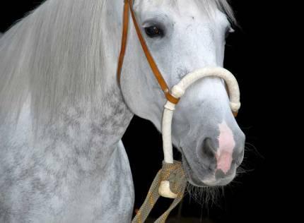 Lusitano Pferde – mutig und zuverlässig