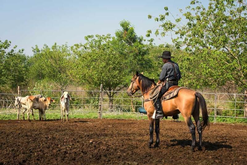 cowboy is catching a calf to be branded in a ranch in northern thailand at nakhon rachasima