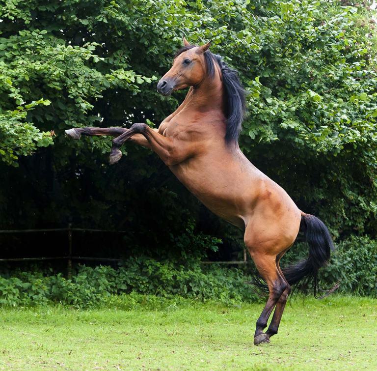 Die-schönsten-Pferderassen---araber