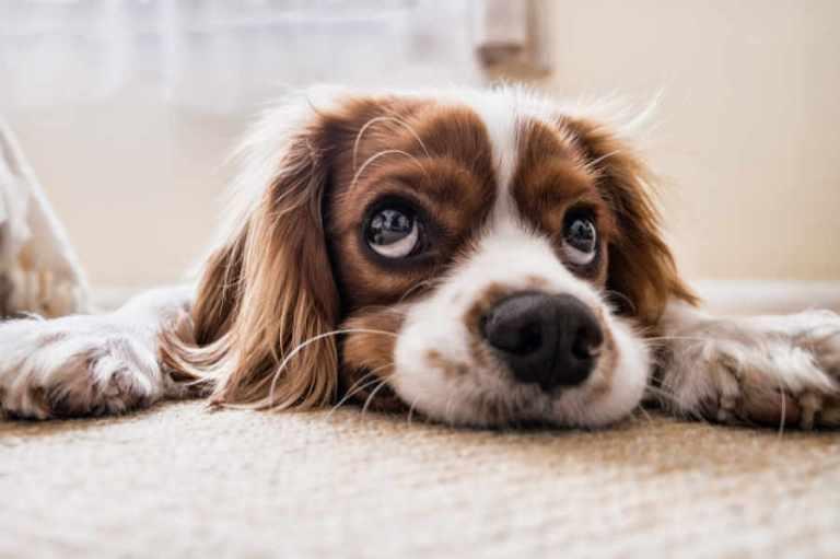 Trauer Hund