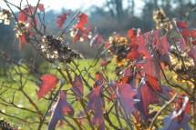 hydrangea quercifolia02