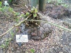 Dioscorea elephantipes im Grugapark, Essen