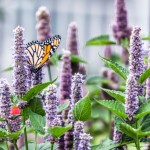 Pollination by butterfly