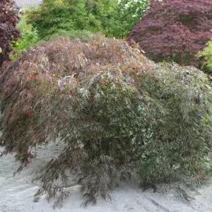 Acer-palmatum-Inaba-shidare