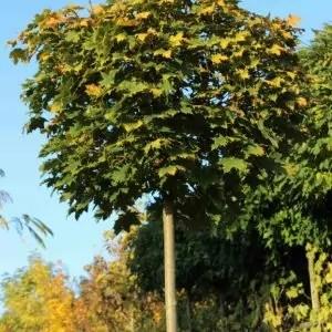 Acer-platanopides-Globosum
