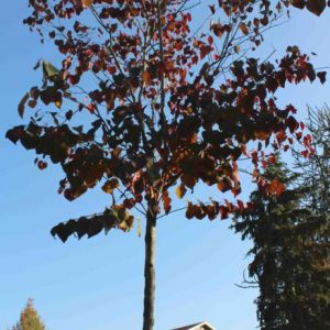 Cercis-canadensis-Forest-Pansy