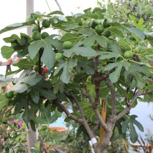 Ficus carica i.S. - Feige i.S. hoch klein