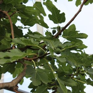 Ficus carica i.S. - Feige i.S. hoch