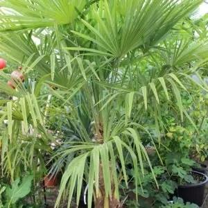 Trachycarpus fortunei - Hanfpalme