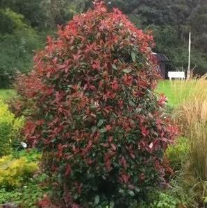 glanzmispel-red-robin-photinia