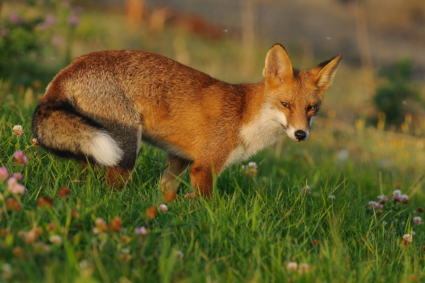Red Fox Vulpes Vulpes Part Ii