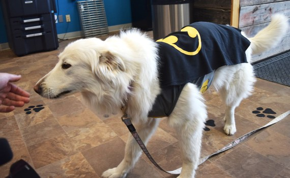 Poppy, Prince George's three-legged caped crusader, can't wait for the screening of the 1989 movie Batman during Northern Fancon. Bill Phillips photo