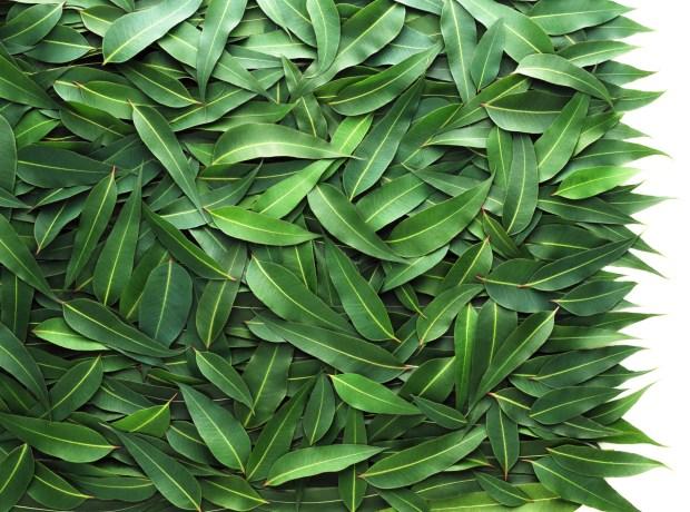 Eucalyptus | Spryliving.com