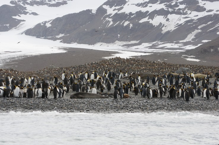 The huge penguin colony of St. Andrews Bay.
