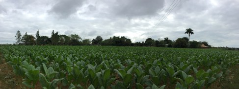 A tobacco plantation, an important source of money for Cuba