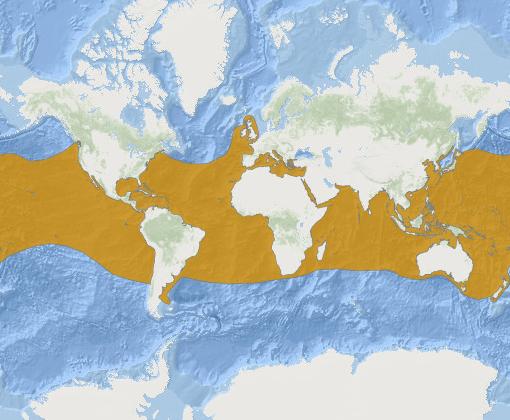 Areale distribuzione - Isurus oxyrinchus
