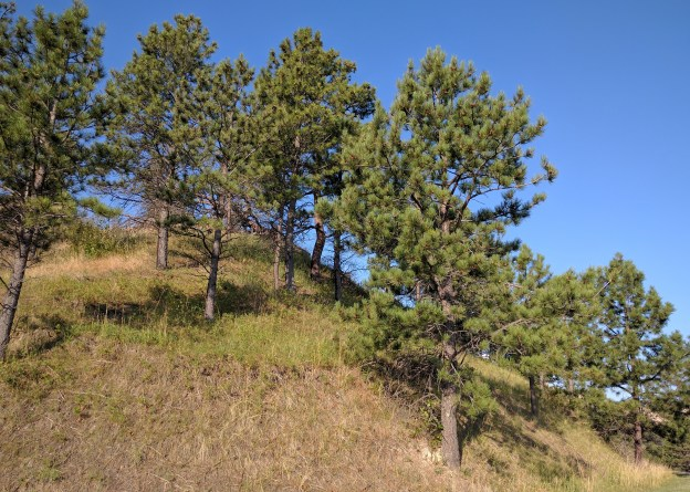 Low rainfall and extreme weather make for slow growth of these ponderosa pines.