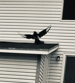 Magpie flying in front of window.