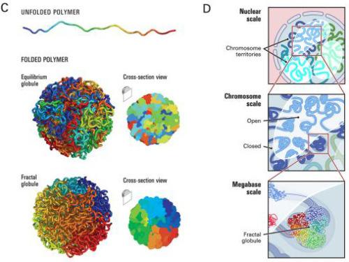 fractal-globule