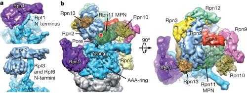 nature10774-f3.2   ubiquitin structures  Rn1  Rn2