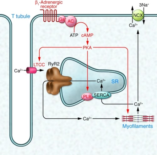 JCI45251.f1  classical view of cardiomyocyte excit-contraction coupling and nregulation by beta adrenergic receptors