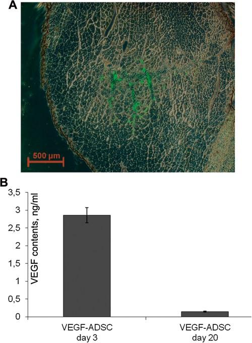 1479-5876-11-138-12  Figure 12. Human ADSC viability and VEGF expression
