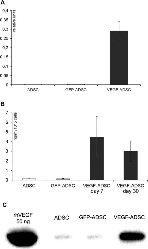 Figure 2. Validation of VEGF165 expression in AAV-modified VEGF-ADSC.