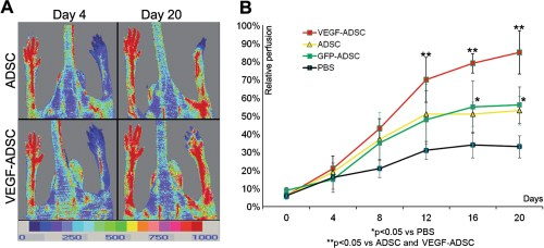 Figure 9. Reperfusion of murine ischemic limb after ADSC administration.