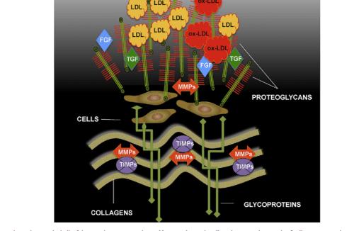 Fig. 1. ECM in atherosclerosis