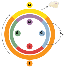 -Cell_Cycle_