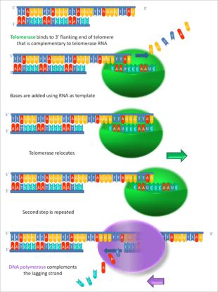 -Working_principle_of_telomerase