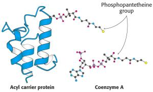 ACP (acyl carrier protein)