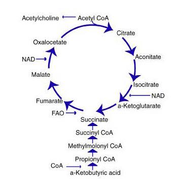 Krebs1 cycle