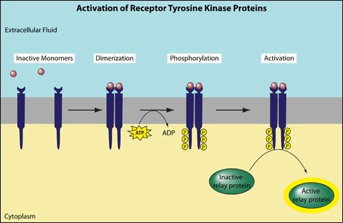 activation of receptor Tyrosine Kinase