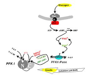 Phosphofructokinase mechanism