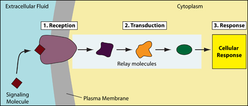 signal transduction_simple
