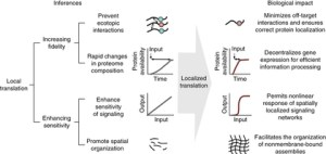 the potential advantages conferred by distal-site protein synthesis