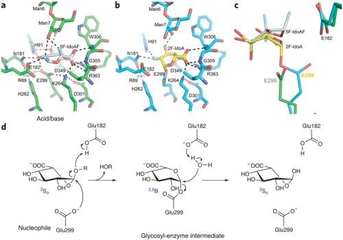 catalytic pathway for IDUA