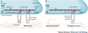 integrin coupled to F-actin via linker