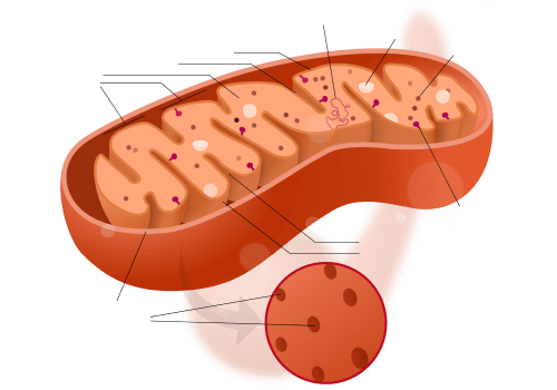 Mitochondrion_structure_drawing