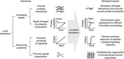 An overview of the potential advantages conferred by distal-site protein synthesis