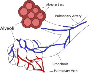 Alveoli_diagram